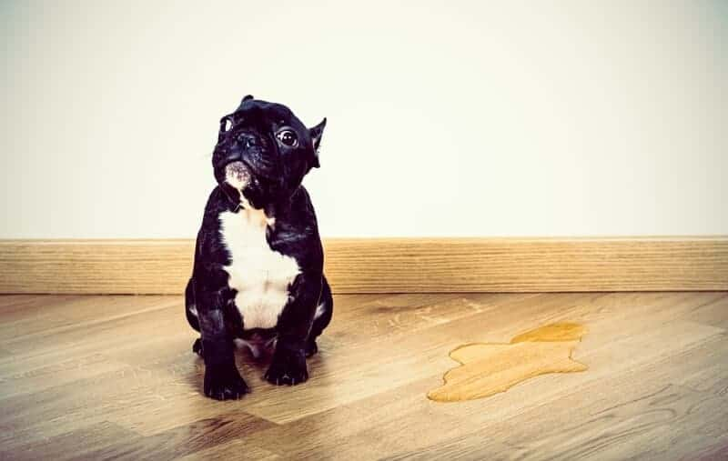 Parquet and dogs/cats. Animal urine is particularly dangerous for oak parquet