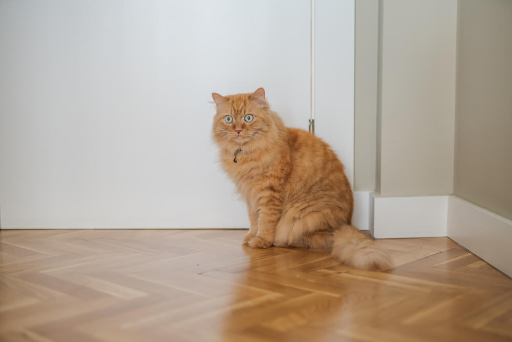 Cat on Wood Floor